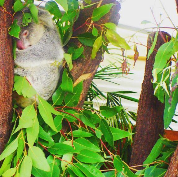 【オーストラリア/ケアンズ】コアラに会える!動物園情報